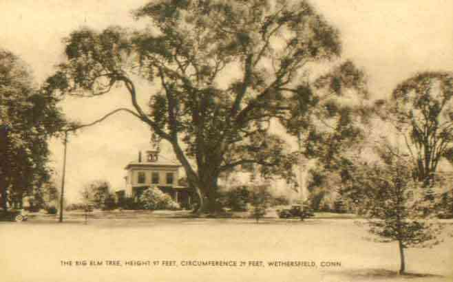 Wethersfield, Connecticut, USA - The Big Elm Tree, Height 97 feet, Circumference 29 feet, Wethersfield, Conn.
