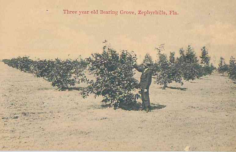 Zephyrhills, Florida, USA (Abbot Station) - Three year old Bearing Grove